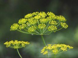 Семена укропа, полезные свойства и противопоказания: целебные прописи