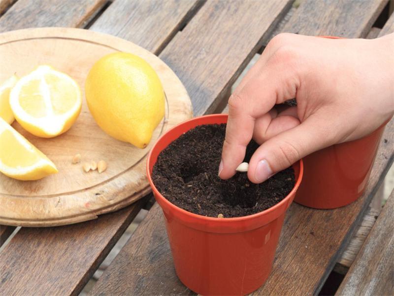 limon-794