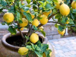 Как вырастить лимон из косточки в домашних условиях. Секрет очень прост
