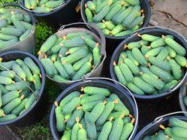 Чудо-подкормка для огурцов для тех, кому нужен богатый урожай
