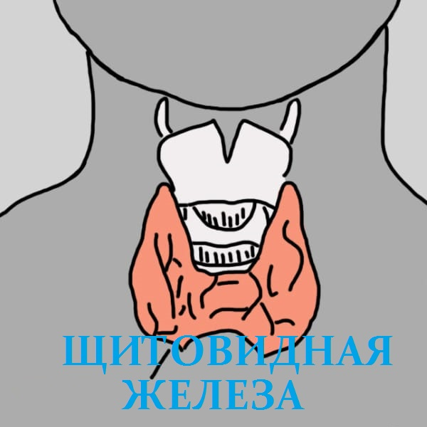 щитoвидная жeлeза